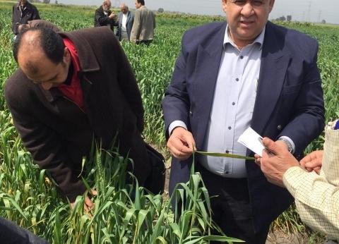 """""""الزراعة"""" تطمئن على الحالة المرضية لمحصول القمح في محافظة كفر الشيخ"""