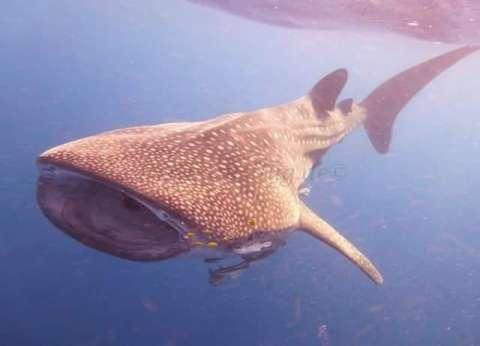 """محميات البحر الأحمر تحذر من إزعاج """"القرش الحوتي"""""""