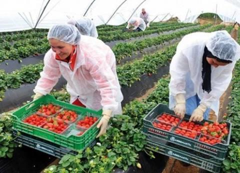 """وكيل """"زراعة الإسماعيلية"""": تصدير 20 ألف طن فراولة من أجود الأنواع"""