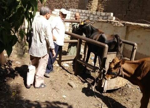"""""""بيطري الجيزة"""": معالجة الماشية المصابة بالجلد العقدي مجانا"""