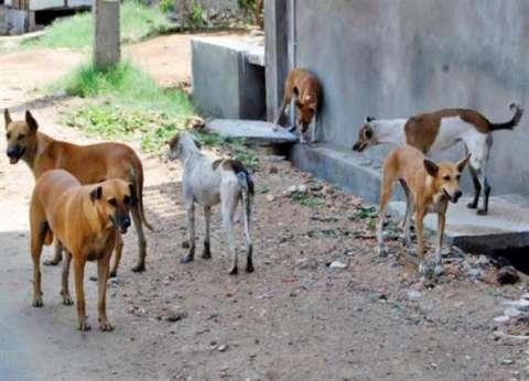محافظ البحر الأحمر يوجه بشن حملات لمكافحة الكلاب الضالة