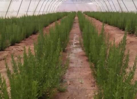 """بالصور  رئيس """"تعمير جنوب سيناء"""" يعلن زراعة الأعشاب والنباتات الطبية"""
