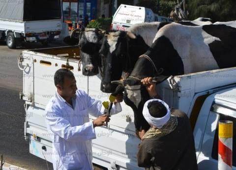 محافظ الدقهلية: تحصين 115 ألف رأس ماشية ضد الحمى القلاعية