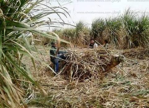 بدء أعمال شحن محصول قصب السكر لمصنعي كوم أمبو وإدفو