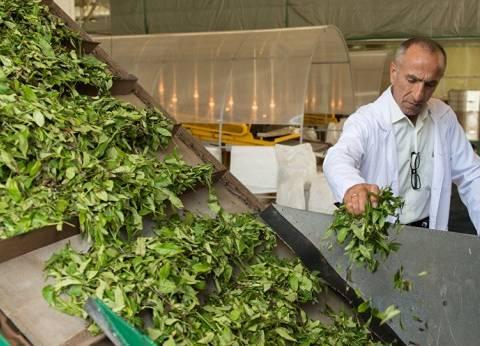 """دراسة: """"الشاي الأخضر"""" قادر على تدمير الخلايا السرطانية"""