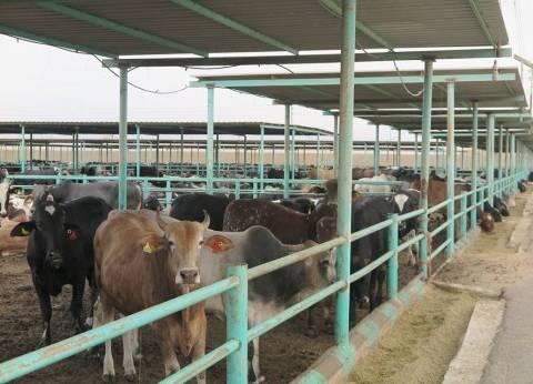 """""""بيطري الوادي الجديد"""" ينتهي من حملة تحصين الماشية ضد الجلد العقدي"""