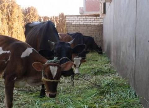 """""""بيطري دمياط"""": تحصين 71% من المواشي ضد الحمى القلاعية"""
