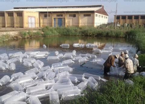 بدء الاستزراع السمكي في حقول الأرز بالمنزلة