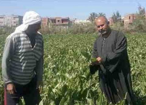 """""""الدقهلية للسكر"""" تبدأ في تسلم محصول البنجر بمبلغ أساسي 400 جنيه للطن"""