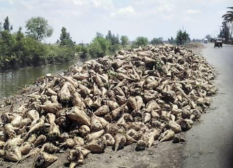 زراعة 110 آلاف فدان ببنجر السكر هذا العام في الإسماعيلية