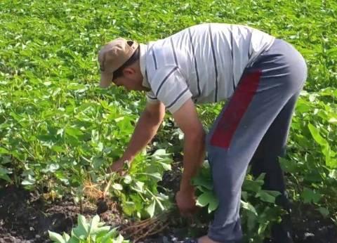 زراعة كفر الشيخ تعلن علاج 40 ألف فدان قطن من الآفات