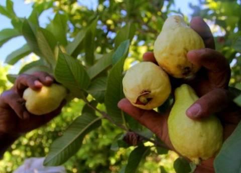 الفاكهة تستقر في سوق العبور.. والجوافة بـ8 جنيهات