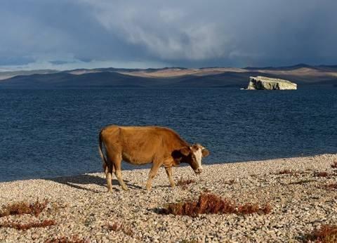 """بلغاريا تتراجع عن إعدام البقرة """"بينكا"""" بعد احتجاجات دولية"""