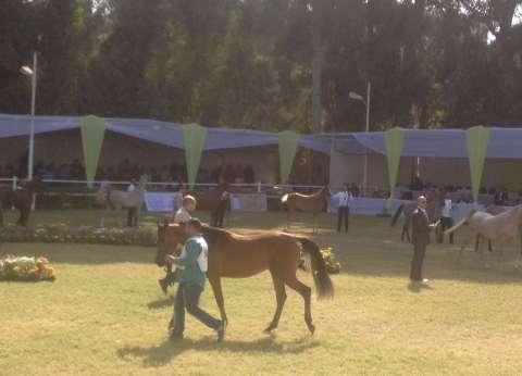 """""""الزراعة"""" تطلق فعاليات مهرجان """"محطة الزهراء"""" لجمال الخيول العربية الأصيلة"""