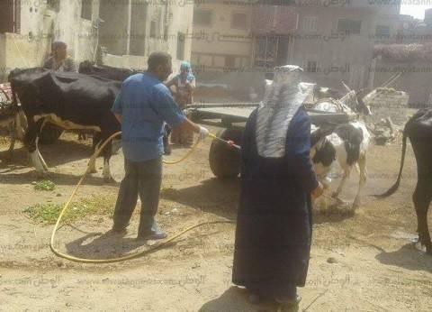 """رش جماعي للماشية في كفر الشيخ للوقاية من انتشار """"الجلد العقدي"""""""