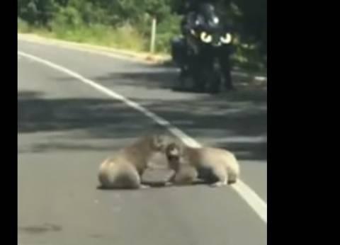 بالفيديو| مصارعة بين دببة الكوالا على الطريق العام