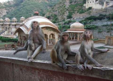 مرض غامض يقتل القرود في الهند.. هل يهدد حياة الإنسان؟