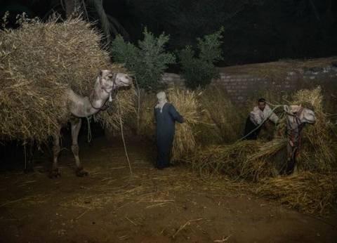 ليلة الحصاد «السعيدة» فى منزل «حامد».. «سنابل القمح زى الفلاحين»