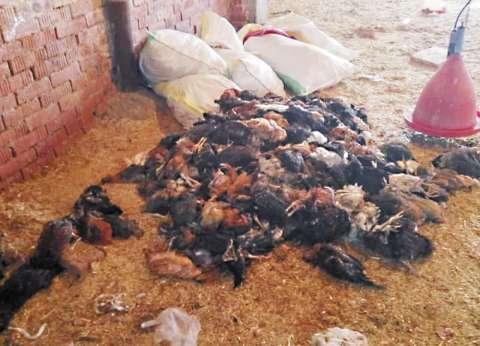 الغربية.. أصحاب المزارع: الفيروسات قضت على 50% من التسمين وكبدتنا خسائر فادحة.. وإنتاج البيض تراجع لـ7% فقط