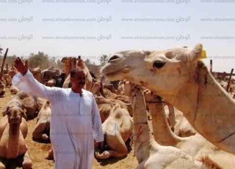 """""""بيطري أبو سمبل"""" يفرج عن شحنة تضم 4344 رأس جمل سوداني"""