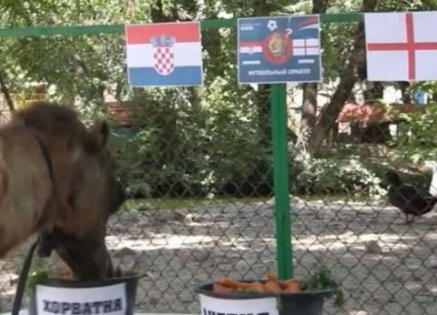 ناقة تتوقع نتيجة مباراة كرواتيا وإنجلترا بالدور قبل نهائي لكأس العالم