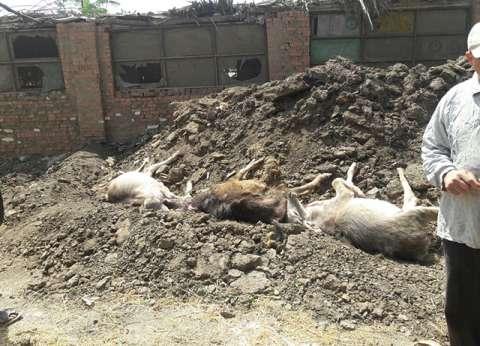 إعلان الطوارئ بالقليوبية إثر نفوق 7 بقرات بسبب الحمى القلاعية