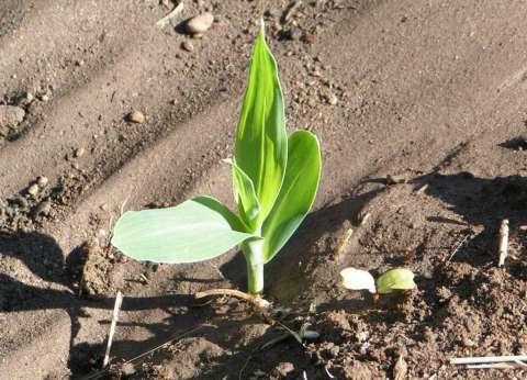 حملات توعية للفلاحين في كفر الشيخ لتحسين زراعة الذرة الشامية
