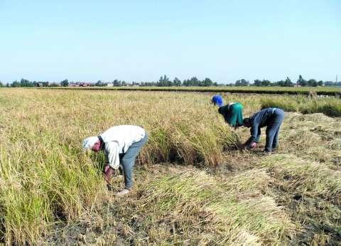 """""""الزراعة"""": تدوير 750 ألف طن قش أرز لمواجهة السحابة السوداء"""