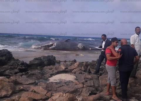 بالفيديو والصور| الأمواج تجرف حوتا نافقا إلى شاطىء كليوباترا بمطروح