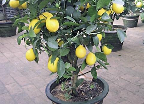 ليه تشترى الليمون لما ممكن تزرعه: «الشتلة بـ5 جنيه»