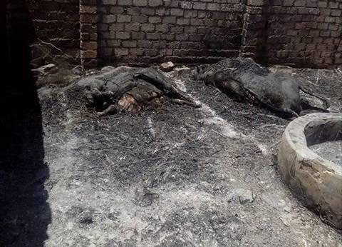 نفوق ماشية في حريق هائل بحظيرة مواشي بمركز أشمون