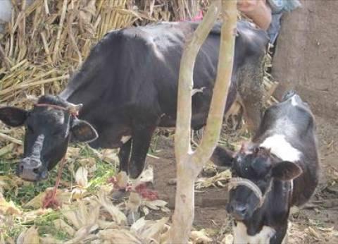 """""""بيطري"""" الجيزة: تحصين 160 ألف رأس ماشية ضد الحمى القلاعية"""