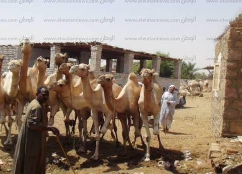 """""""بيطري أبوسمبل"""" يفرج عن شحنة تضم 4536 رأس جمل سوداني"""