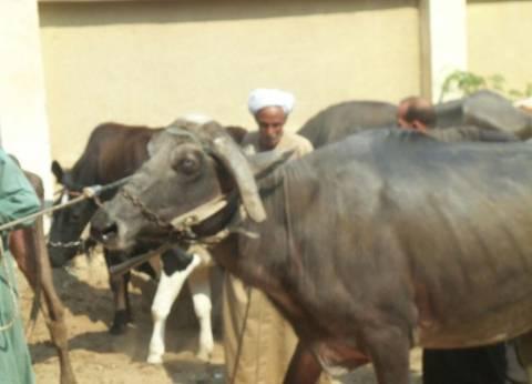 """""""الزراعة"""" تنفي نفوق الماشية في بني سويف بدعوى """"سوء الأمصال"""""""