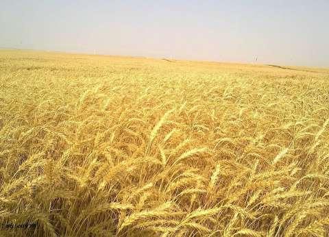 نجاح زراعة القمح المحتمل الملوحة على مياه الصرف الزراعي بالوادي الجديد