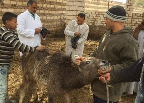 تحصين 56.4 ألف رأس ماشية في المنيا