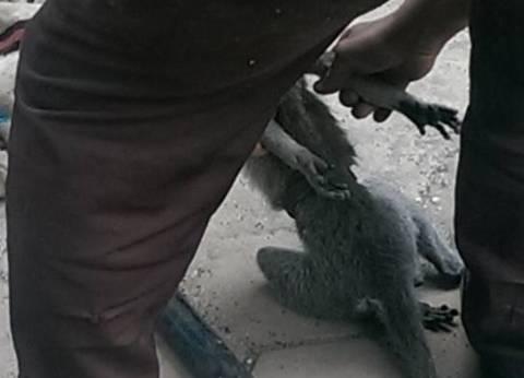 عودة النسناس الهارب إلى حديقة الحيوان بالأقصر