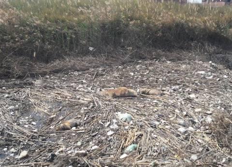 مياه سوهاج تدعو المواطنين للتصدي لظاهرة انتشار إلقاء الحيوانات النافقة بنهر النيل