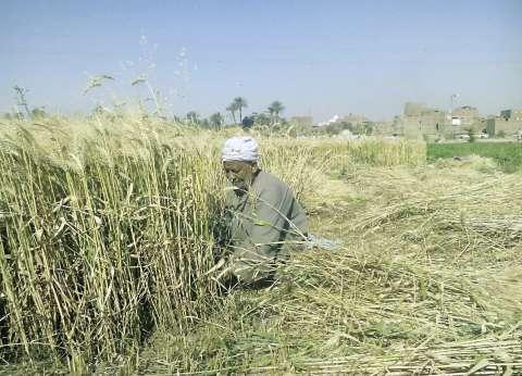 فلاحون: تخفيض سعر توريد القمح يهدد بتدمير ٢٠٠ ألف فدان بسوهاج