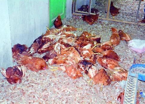 80 % من مزارع الدواجن فى مصر قنبلة مرضية موقوتة
