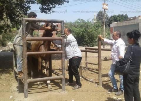 «بيطري المنوفية»: تنفيذ حملة تقصي ميداني لأمراض الخيول المعدية