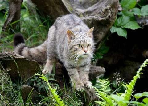 بعد 150 عاما من إعلان انقراضه.. ظهور القط البري الإنجليزي مرة أخرى