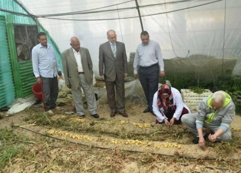 جامعة مدينة السادات: نجاح إنتاج تقاوي البطاطس باستخدام تقنيات حديثة