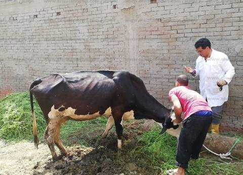 محافظ الدقهلية: تحصين 256 ألف رأس ماشية وأغنام ضد مرض الحمى القلاعية
