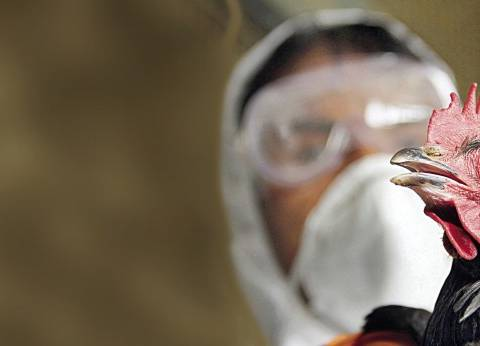 إنفلونزا  الطيور يهاجم من جديد