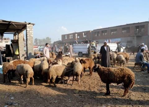 «التموين»: طرح 8 آلاف رأس ماشية و2600 خروف حى استعداداً لـ«الأضحى»