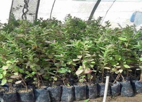 زراعة الوادي الجديد تطرح شتلات فاكهة وأشجار زينة بأسعار مخفضة