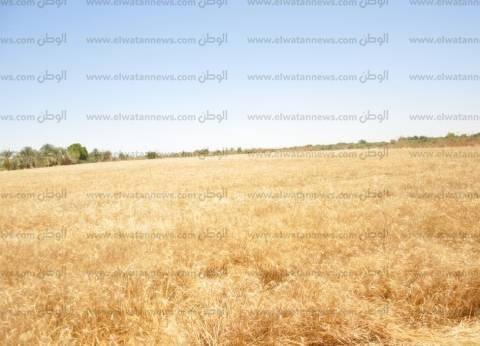 """""""الزراعة"""": عقود بين الجمعيات وبنك الائتمان لاستلام محصول القمح"""
