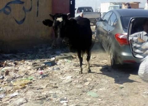 """""""جاموسة"""" في استقبال وزير التنمية المحلية قبل تفقد مقلب قمامة ببورسعيد"""