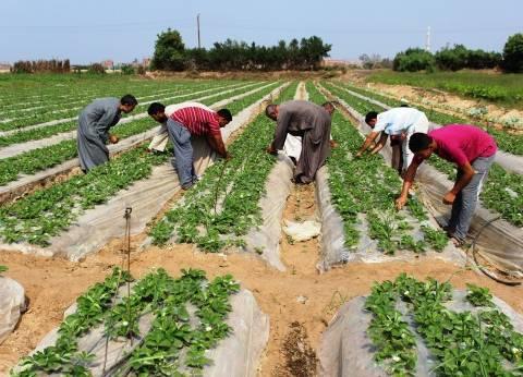 زراعة كفر الشيخ: علاج 15 ألف فدان بنجر من الآفات الزراعية بالمحافظة